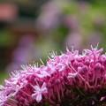 紫陽花満開