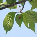Photos: 桜の実