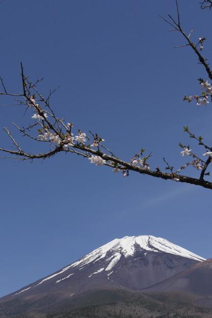 Photos: 晩春の富士と名残桜