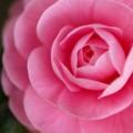 Photos: camellia