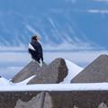 写真: オオワシ(堤防に)