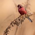 写真: 真っ赤なベニマシコ♂ 1