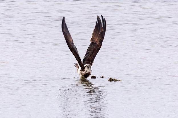 ミサゴ 水中から飛出し 1