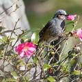 写真: 山茶花を食べるヒヨドリ