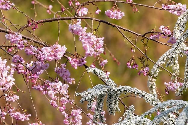 枝垂桜と雪柳