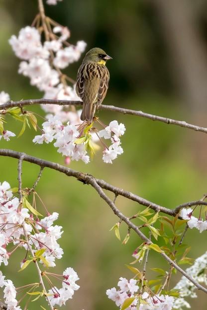 枝垂桜とアオジ 2