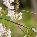 写真: 枝垂桜とアオジ 2