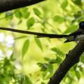 写真: サンコウチョウ 3