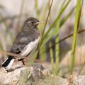 写真: ハクセキレイの幼鳥?