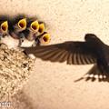 ツバメの育児 3