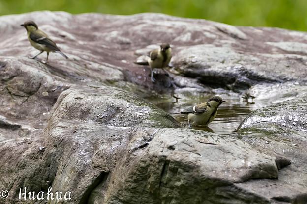 Photos: シジュウカラの水浴 1