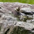写真: シジュウカラの水浴 1