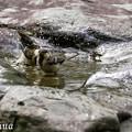 写真: シジュウカラの水浴 2