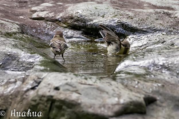 Photos: シジュウカラの水浴 3