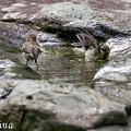 写真: シジュウカラの水浴 3