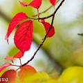 真夏の紅葉?