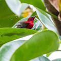 葉上の水浴び   キゴシタイヨウチョウ 1