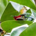 葉上の水浴び   キゴシタイヨウチョウ 2