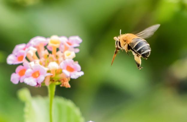 公園花壇の昆虫 2
