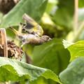 向日葵畑のカワラヒワ 5