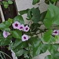 写真: サツマイモの花1(2)