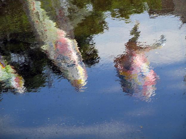 IMG_3856 水を得た鯉 鯉のぼり♪