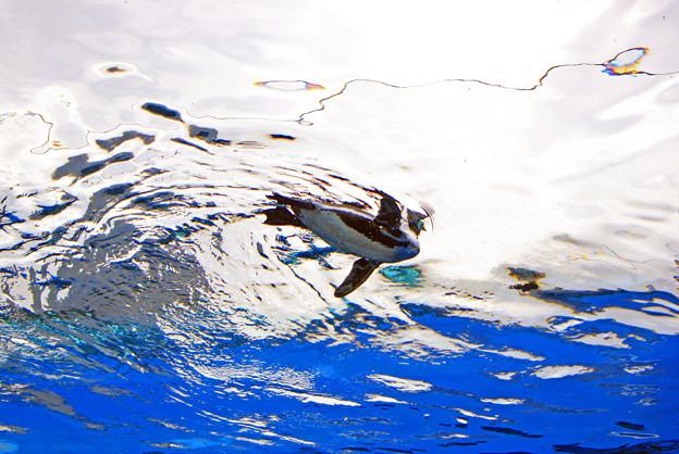 Photos: サンシャイン水族館 空飛ぶペンギン 飛んでま~す