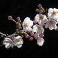 墨田堤 桜開花