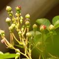 初夏の花のつぼみ、相次いで…?