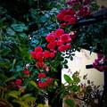 Photos: 春バラ 2014.5.27