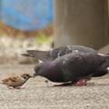 写真: くちばしをつき合わす(?)ハトとスズメ