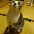 座敷で戯れる猫