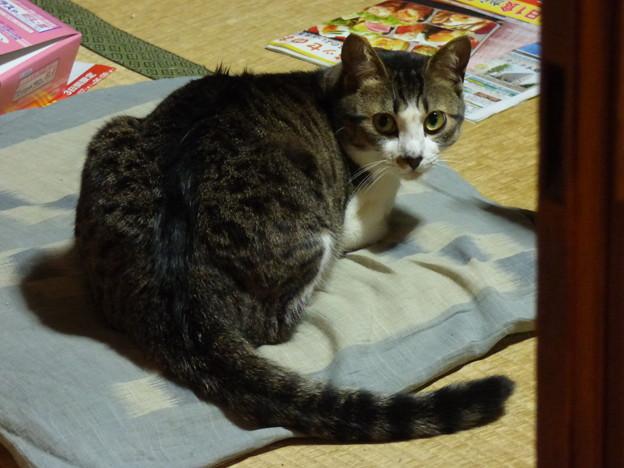 写真: 茶の間で佇む猫