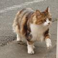 写真: 気ままに闊歩する猫