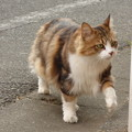 Photos: 気ままに闊歩する猫