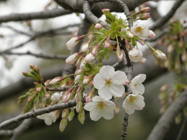 Photos: 2019年、飛鳥山公園の桜も開花!