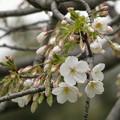 写真: 2019年、飛鳥山公園の桜も開花!