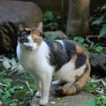 ミケのノラさん、庭に現る。