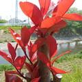 写真: 赤い新芽