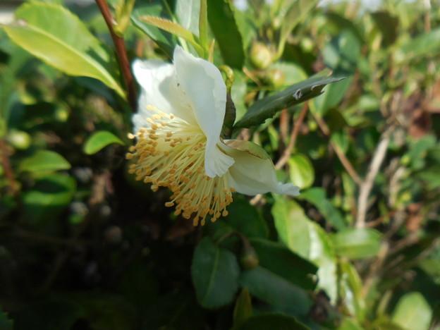 Photos: お茶の花