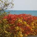 海辺の紅葉