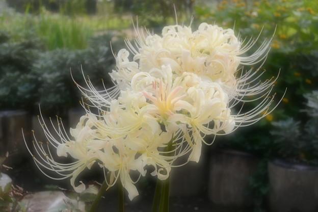 白い 彼岸花