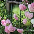 写真: 五月の薔薇