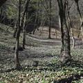 写真: カタクリ(鳩吹山)