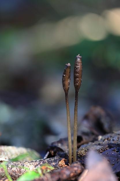 クロヤツシロランの種