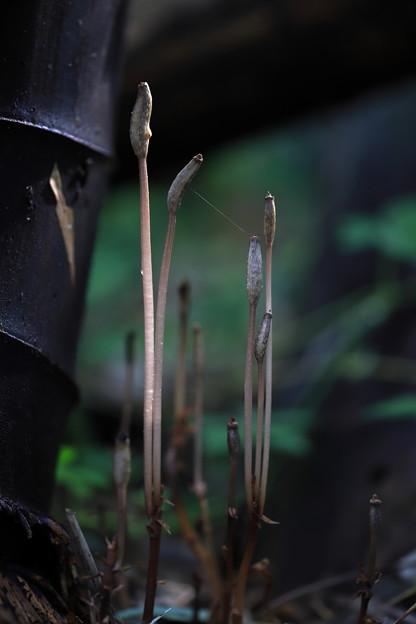 アキザキヤツシロランの種