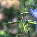 Photos: シタキソウの種