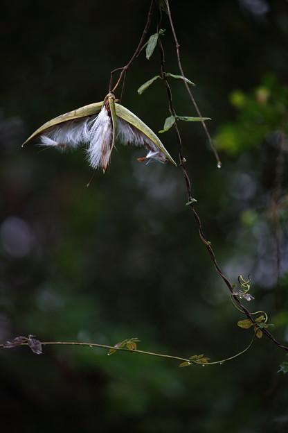 シタキソウの種