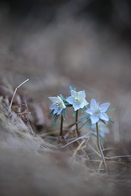 Photos: セツブンソウ(白花)