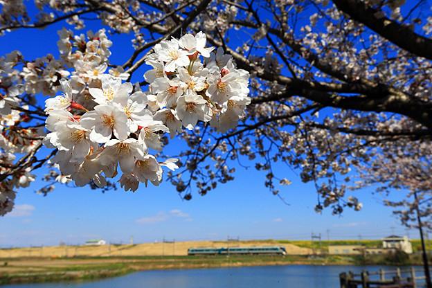 渡良瀬旧川の桜3